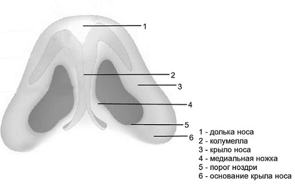 Схема анатомического строения основания носа