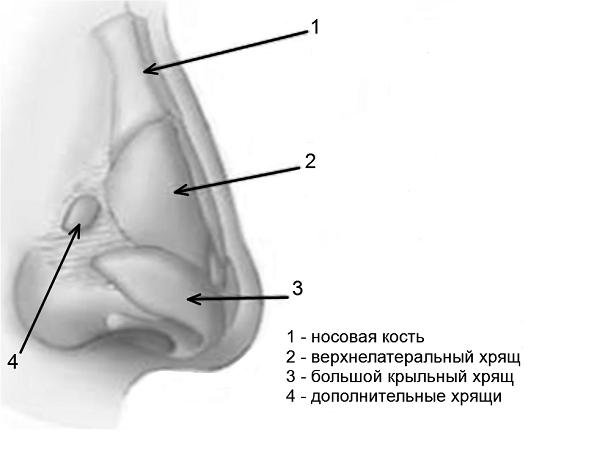 Основные сведения об анатомии носа